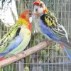 Red Rosella couple