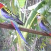 red rosellas adults