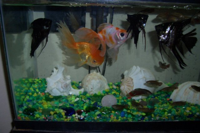 Angel fishes and Gold fishes
